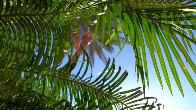 vidéos et rushes de feuilles de palmier vert se balançant dans un vent léger en face du soleil. - arbre tropical