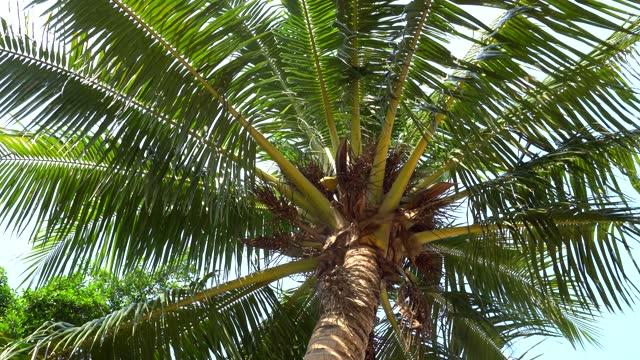 vidéos et rushes de palmiers verts, cocotiers et tropiques - arbre tropical