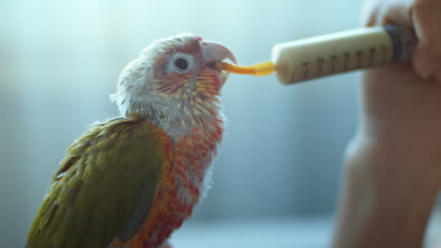 Green parrot bird eats liquid food with a syringe from a woman's hand,Close-up