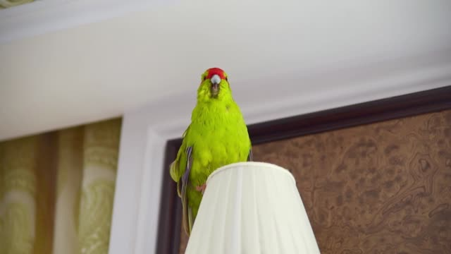 vídeos de stock e filmes b-roll de green parrot on lamp shade at home. - animal doméstico