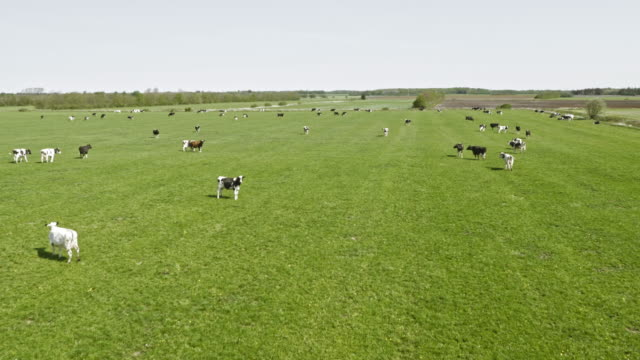 AERIAL Green pasture with cattle grazing in sunshine video