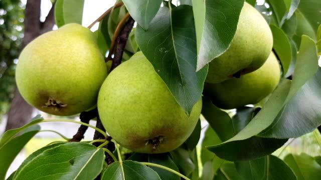 green pears grow on a branch - data scritta video stock e b–roll
