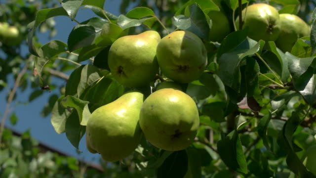 Green pears on a branch.