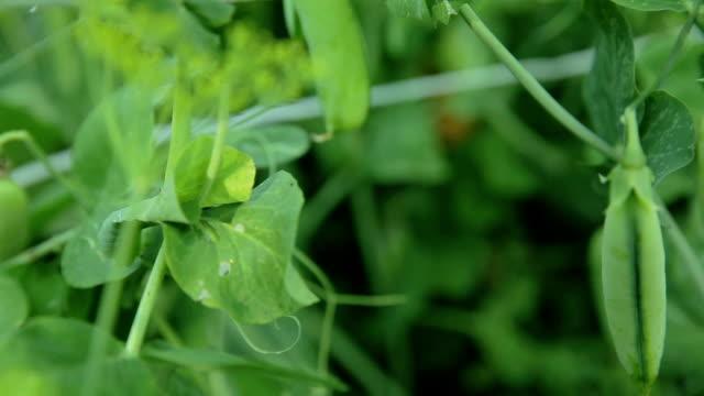 gröna ärtor i trädgården - pea sprouts bildbanksvideor och videomaterial från bakom kulisserna