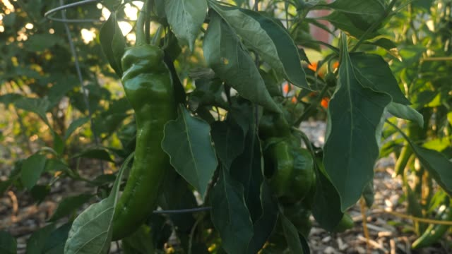 Green pepper growing in a garden video