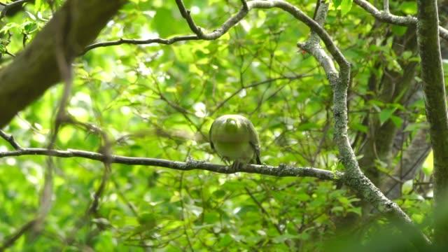 green pigeon (treron sieboldii) kuril islands - soltanto un animale video stock e b–roll