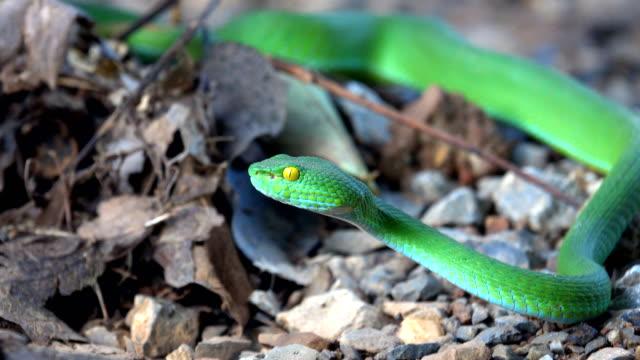 Green pit vipers snake or Trimeresurus albolabris snake on ground background