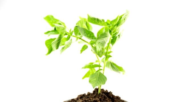 green plant 4K Time-lapse