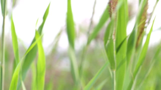 Green Reed and Cattail with wind on a Lake. Video. Nature, Plant, Green Reed, wetland stock videos & royalty-free footage