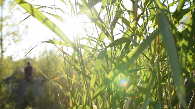 green reed in sunshine, sun flair jungle forest grass summer, sunny, green - центральная европа стоковые видео и кадры b-roll