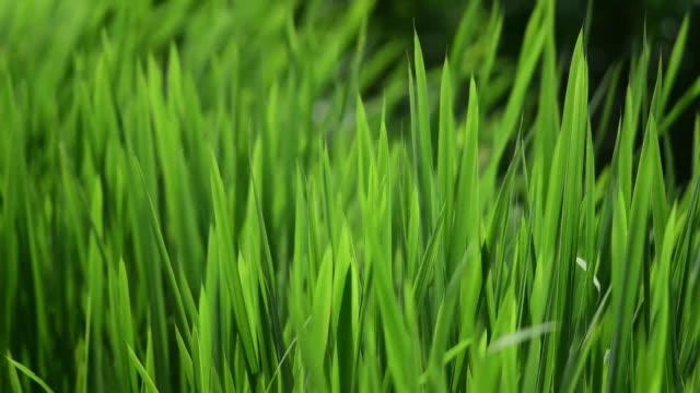 grünen schilf auf einem see, nahaufnahme - schilf stock-videos und b-roll-filmmaterial