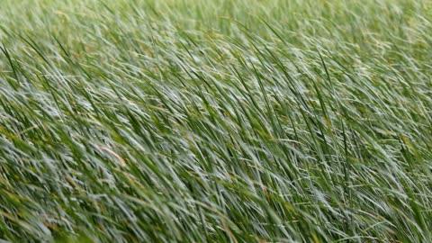 rüzgarda esen yeşil sazlıklar. - rüzgar stok videoları ve detay görüntü çekimi