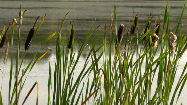Green reeds sway in wind close up. Calm summer landscape. Summer sultry noon on shore of forest lake. HD slowmo video