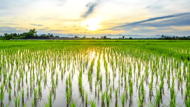 緑色の田園、夕日、タイムラプス hd ます。 - 水田点の映像素材/bロール