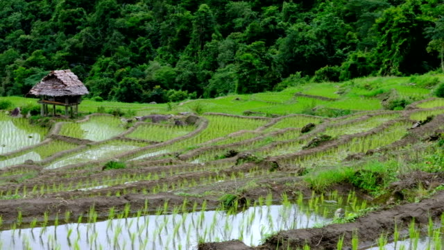 green rice field on terrace in mountain valley. beautiful nature landscape. cultivation, agriculture industry video