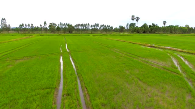 Green rice field with drone, Aerial video video