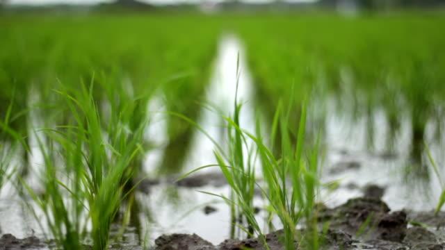 風のある緑の田んぼ - 水田点の映像素材/bロール