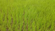 istock green rice In the rice fields of Thai people and without water 1333756609