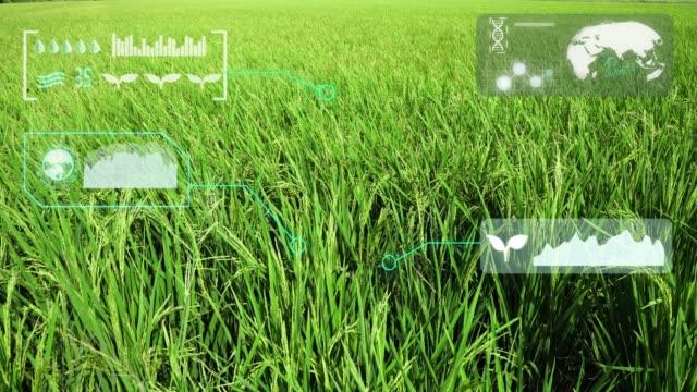 vídeos de stock, filmes e b-roll de exploração agrícola esperta orgânica do arroz verde - agricultura