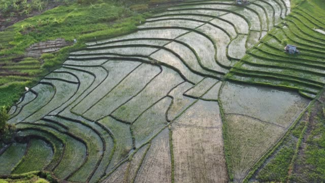 green rice terrace and agricultural land with crops. farmland with rice fields agricultural crops in countryside indonesia,bali, aerial view - taras ryżowy filmów i materiałów b-roll