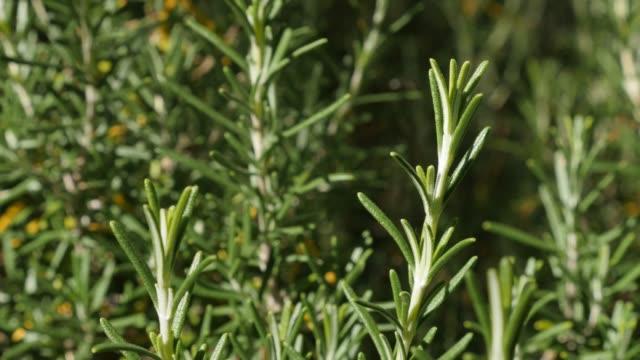 gröna rosemary herbal plantera i trädgården grunt dof - städsegrön växt bildbanksvideor och videomaterial från bakom kulisserna