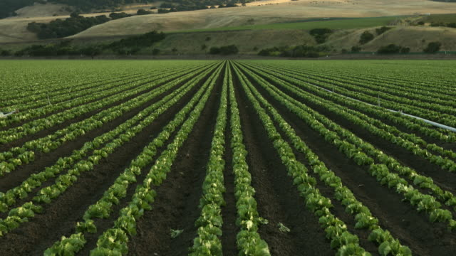 en grön rad färska grödor växa på ett jordbruks-gård fält i salinas valley, kalifornien usa - gröda bildbanksvideor och videomaterial från bakom kulisserna