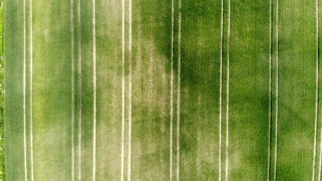 green rye, wheat field against bright blue sky - stelo video stock e b–roll