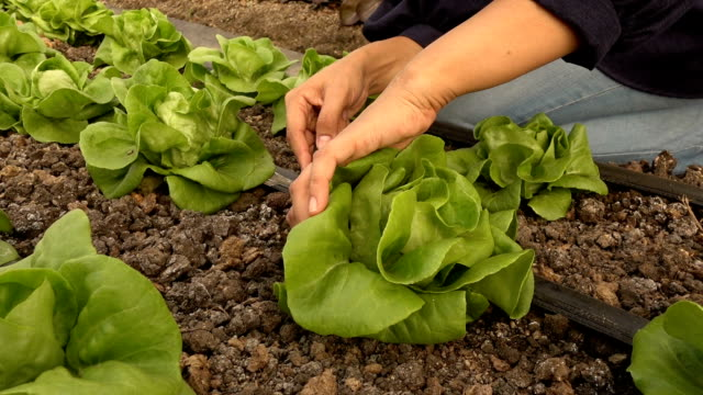 green salad harvesting details - crucifere brassicali video stock e b–roll