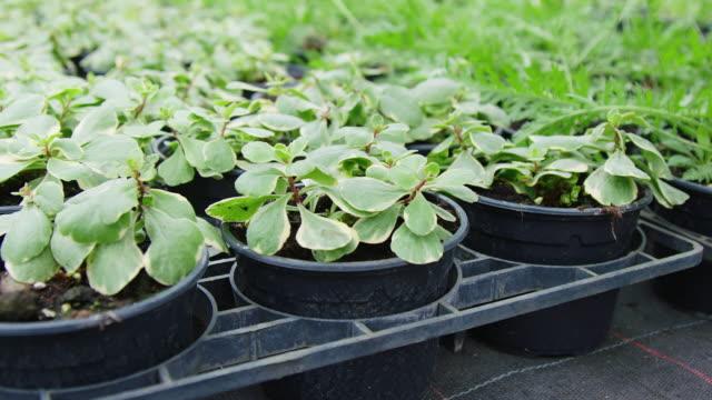 Green saplings in a plant nursery