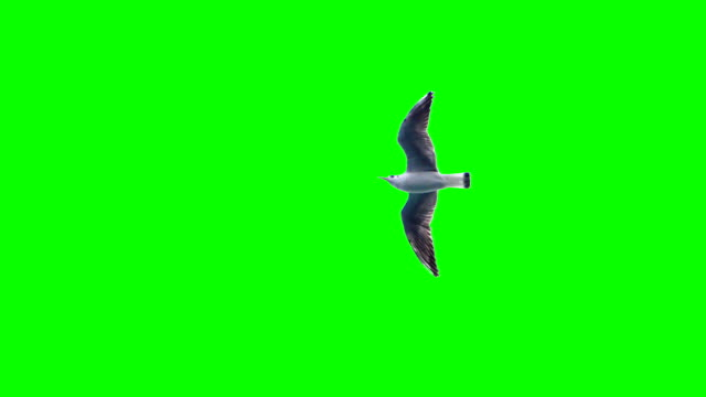 green screen with a seagull in flight green screen with a seagull in flight seagull stock videos & royalty-free footage