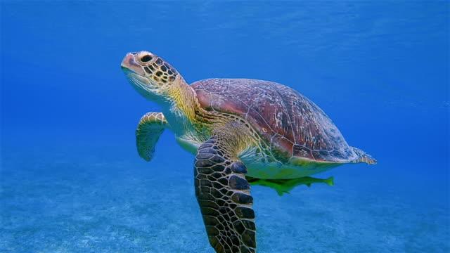 vidéos et rushes de tortue de mer verte et remora poisson nage dans la mer rouge / marsa alam - tortue