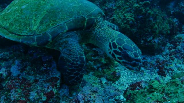 Green sea turtle at coral reef in Galapagos Galapagos Islands, Ecuador - May 8, 2018 : Underwater sea life at Galapagos (2018_0428_0520-05-08_164435) sea life stock videos & royalty-free footage