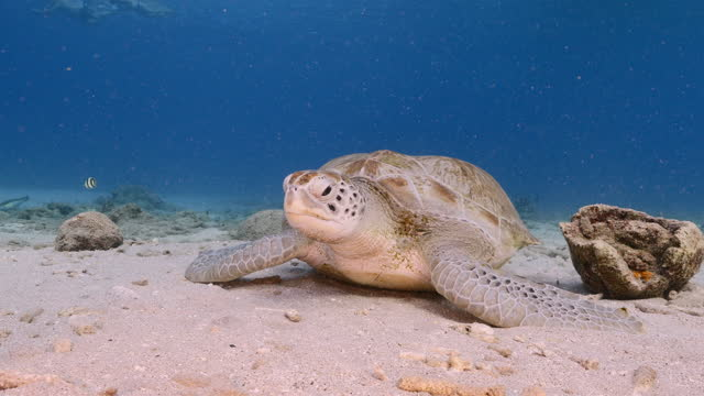 Green Sea Turtle, Chelonia mydas rest in shallow water of coral reef in Caribbean Sea , Curacao video