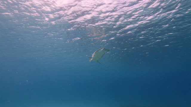 Green Sea Turtle, Chelonia mydas swim in shallow water of coral reef in Caribbean Sea, Curacao video