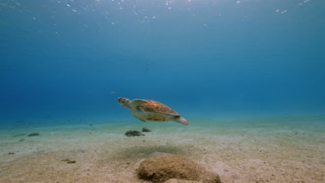 Video Green Sea Turtle in shallow water of the coral reef in the Caribbean Sea around Curacao