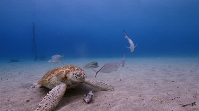 Green Sea Turtle in shallow water of the coral reef in the Caribbean Sea around Curacao video
