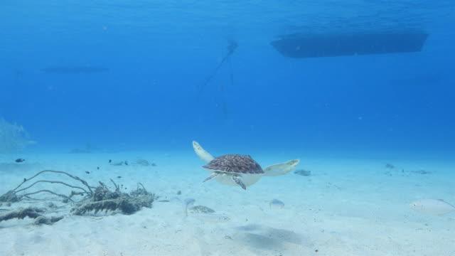 Grüne Meeresschildkröte im seichten Wasser des Korallenriffs in der Karibik auf Curacao – Video