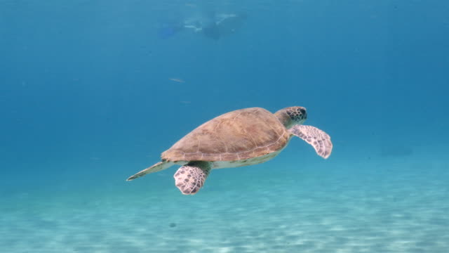Green Sea Turtle in shallow water of the coral reef in the Caribbean Sea around Curacao wideangel of Sea Turtle at scuba dive around Curaçao /Netherlands Antilles curaçao stock videos & royalty-free footage