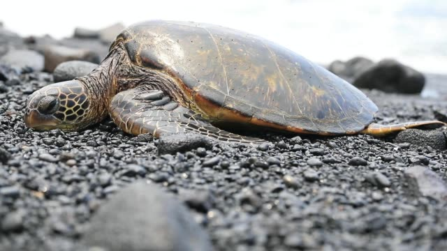 Green sea turtle on black sand beach in Big island,Hawaii tortoise stock videos & royalty-free footage