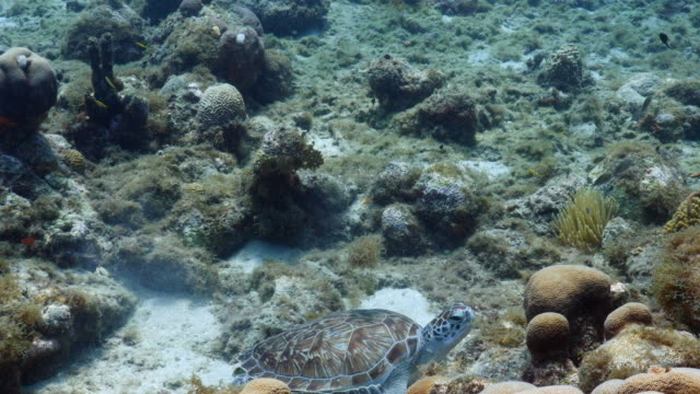 green sea turtle rest in shallow water of the coral reef in the caribbean sea around curacao - poco profondo video stock e b–roll