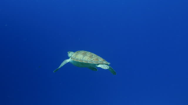 Green Sea Turtle swim in coral reef in the Caribbean Sea around Curacao wideangel of Sea Turtle at scuba dive around Curaçao /Netherlands Antilles turtle stock videos & royalty-free footage