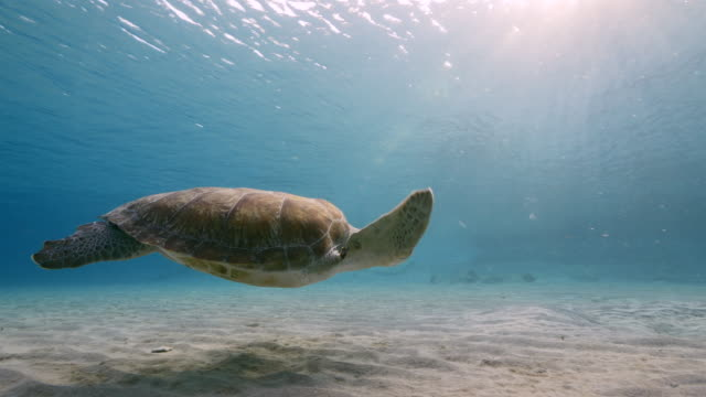 Green Sea Turtle swim in shallow water of coral reef in Caribbean Sea with view to surface and sunbeams wideangel of Sea Turtle at scuba dive around Curaçao /Netherlands Antilles turtle stock videos & royalty-free footage