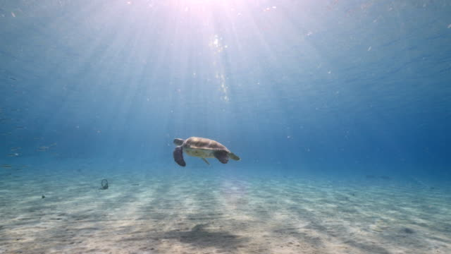 Green Sea Turtle swim in shallow water of coral reef in Caribbean Sea / Curacao with view to surface and sunbeams video