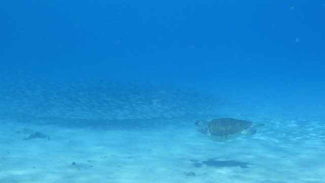 Grüne Meeresschildkröten Schwimmen im flachen Wasser des Korallenriffs in der Karibik auf Curacao – Video