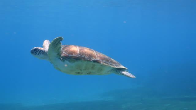 vidéos et rushes de tortue de mer verte nager dans des eaux peu profondes de la barrière de corail dans la mer des caraïbes, autour de curaçao - tortue