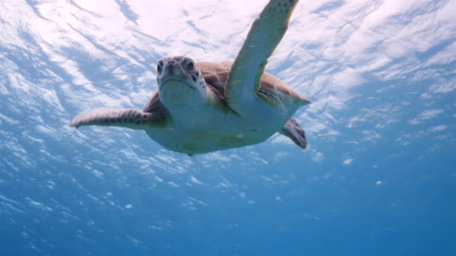 Green Sea Turtle swim in shallow water of the coral reef in the Caribbean Sea around Curacao video