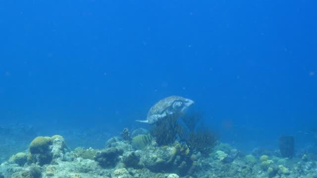 Grüne Meeresschildkröten schwimmen in das Korallenriff in der Karibik auf Curacao – Video