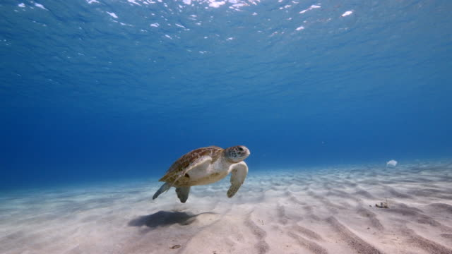 Green Sea Turtle swim in turquoise water of coral reef - Caribbean Sea / Curacao wideangel of Sea Turtle at scuba dive around Curaçao /Netherlands Antilles curaçao stock videos & royalty-free footage