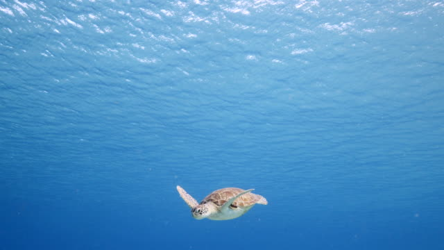 Green Sea Turtle swim in turquoise water of coral reef in Caribbean Sea / Curacao video
