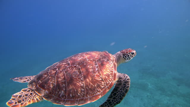 vidéos et rushes de tortue de mer verte nageant dans la mer rouge / marsa alam - animaux à l'état sauvage